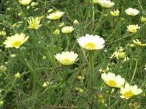 Daisy Flower bianca Fotografia Stock
