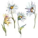 Daisy Flower bianca Fiore botanico floreale Elemento isolato dell'illustrazione illustrazione di stock