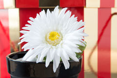 Daisy Flower In Black Ceramic Pot Royalty Free Stock Photos