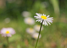Daisy flower with. A blank space for text Royalty Free Stock Image