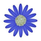 Daisy Flower bleue sur un fond blanc Image libre de droits