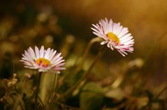 Daisy flower bloom in the field Stock Photography