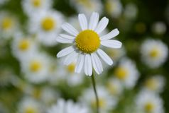 Daisy. Flower blooming in garden royalty free stock images