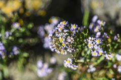 Daisy flower blooming in a garden in Sweden. Royalty Free Stock Images