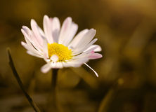 Daisy flower blooming on sunset meadow Royalty Free Stock Image