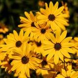 Daisy, Flower, Blossom, Bloom Royalty Free Stock Photo