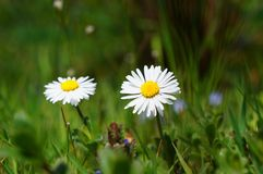 Daisy, Flower, Blossom, Bloom Royalty Free Stock Photography