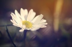 Daisy flower blossom at spring on the field Royalty Free Stock Photos