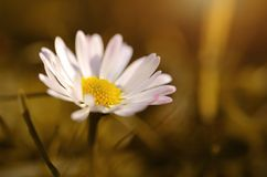 Daisy flower blossom in spring on meadow Stock Photos
