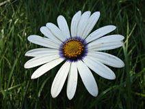 Daisy flower with blue core close-up Royalty Free Stock Image