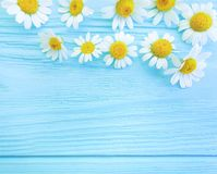 Daisy flower on blue wooden background composition frame. Daisy flower blue wooden background frame composition stock photo