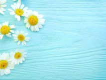 Daisy flower on blue wooden background spring composition frame. Daisy flower blue wooden background frame composition spring royalty free stock photography