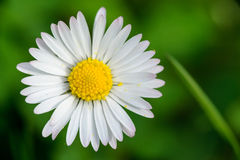 Daisy flower. With blured green in background Royalty Free Stock Images
