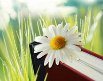 Daisy flower on book. Mean romance Royalty Free Stock Photo