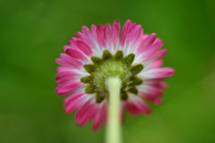Daisy flower. Bottom view of a daisy flower stock photos