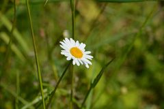 Daisy flower in bright sunlight. Flowering daisy on a sunlit summer meadow - a staple element in Polish countryside stock images