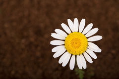 Daisy flower on brown Royalty Free Stock Photography