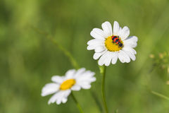 Daisy flower with bug in a green meadow during summer Stock Photo