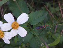 Milkweed assassin bug. Daisy flower and a bug stock image