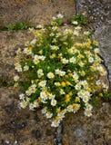 Daisy Flower Bush Thriving en el cemento foto de archivo libre de regalías