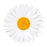 Daisy Flower Camomilla Concetto di estate Immagini Stock