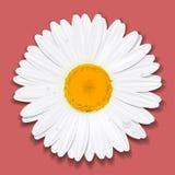 Daisy Flower Camomilla Concetto di estate Illustrazione di vettore Fotografie Stock