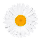 Daisy flower. Chamomile. Summer concept. Vector Illustration Stock Images