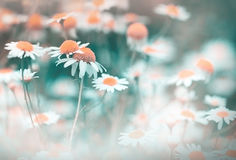 Daisy flower - chamomile (wild chamomile) Royalty Free Stock Photos