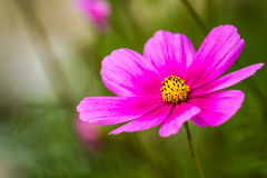 Daisy flower in chiangmai Thailand Royalty Free Stock Image