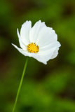 Daisy flower in chiangmai Thailand Stock Images