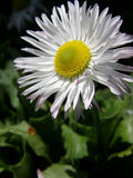 Daisy flower close up Stock Image