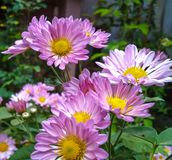 Daisy flower close up shot royalty free stock photography