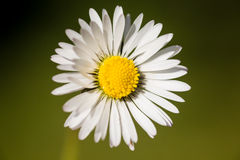 Daisy flower. A close up of a white daisy flower Royalty Free Stock Photography