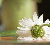 Daisy Flower Closeup. A still life shot of the back side of a daisy with a blurred background royalty free stock photo