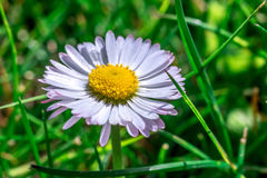 Daisy flower closeup in grass. Macro Stock Photography