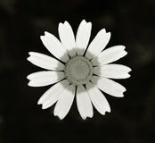 Daisy flower closeup Royalty Free Stock Image