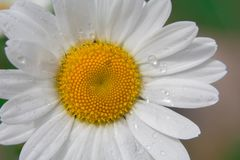 A daisy flower closeup after a rain stock image
