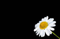 Daisy flower. Closeup of single white daisy flower on black background Stock Photos