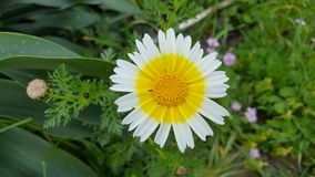 Daisy Flower. Colorful flower at the side of the road, Crete Royalty Free Stock Images