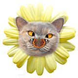 Daisy flower cross eyed cat face petals butterfly on nose. Photo of a cross-eyed pedigree british shorthair cat face surrounded by pretty summer yellow daisy royalty free stock images