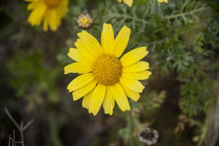 Daisy flower cu yellow Royalty Free Stock Image