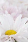 Daisy Flower Daisies Floral Flowers blanche Photo libre de droits