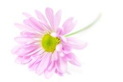 Daisy Flower Daisies Floral Flowers rose Photographie stock libre de droits