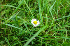 Daisy flower. Daisy flower in the grass on sunny summer day Stock Images