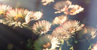Daisy flower - daisy flowers lit by sunlight in flower garden. Daisy flower closeup royalty free stock photos