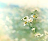 Daisy (flower daisy) Royalty Free Stock Images