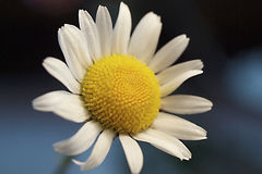 Daisy flower on dark background Royalty Free Stock Image