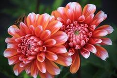 Daisy Flower de oro Fotografía de archivo libre de regalías