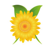 Daisy flower. A detailed yellow daisy flower with some green leaves Royalty Free Stock Photos