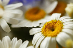 Daisy flower dof Royalty Free Stock Images